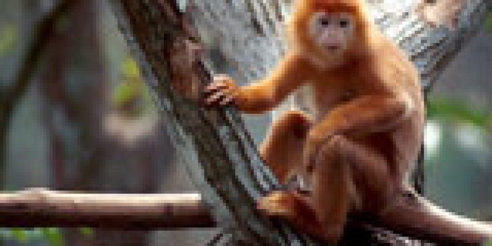 Osservata la prima 'adozione' fra scimmie di generi diversi