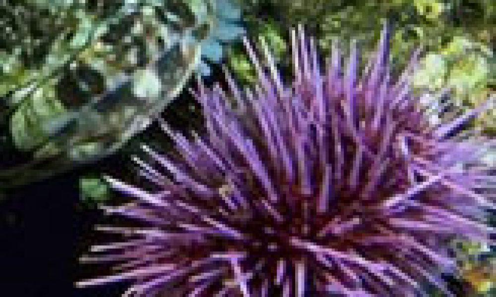 Il riccio di mare svela i segreti dell'Alzheimer