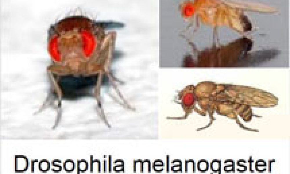 I moscerini? Quasi nostri gemelli